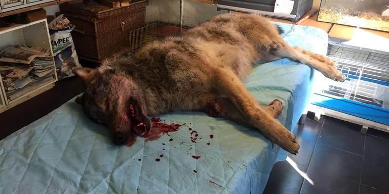 In Drenthe aangereden wilde wolf kwam uit noorden Duitsland.