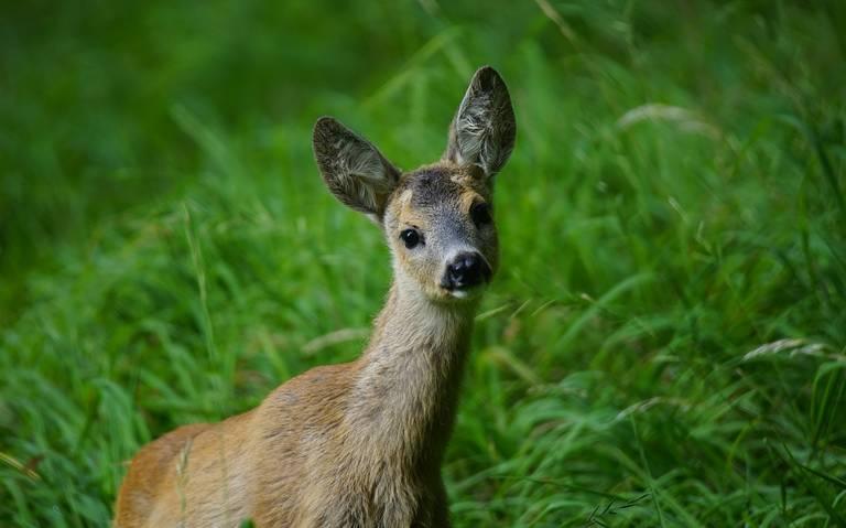 Automobilisten opgelet: Faunabeheereenheid Drenthe waarschuwt voor piek in aanrijdingen met reeën.